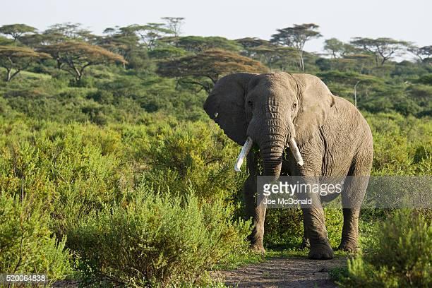African_Elephant_0606_joe