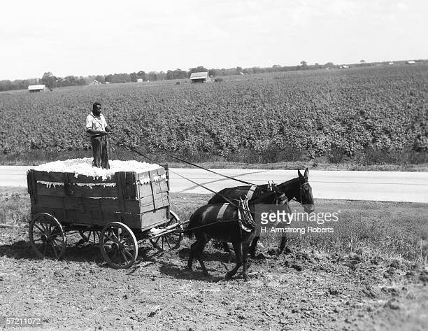 AfricanAmerican farmer standing in cart filled with cotton drawn by mules Louisiana