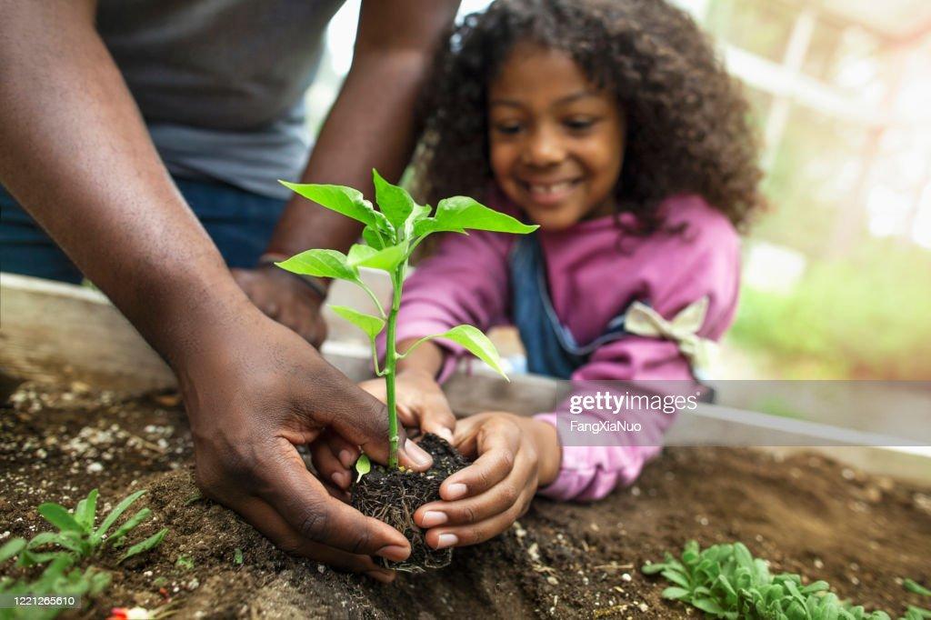 Afrikaans-Amerikaanse vader en dochter die kleine zaailing bij het groen van de communautaire tuin houden : Stockfoto