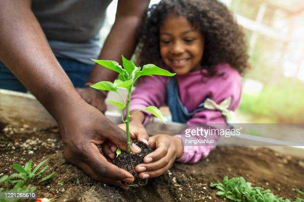 african-american father and daughter holding small seedling at community garden greenery - seedling stock pictures, royalty-free photos & images
