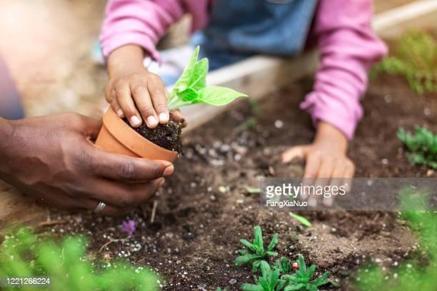 pai e filha afro-americanos plantando vasos de plantas em jardim comunitário - jardinagem - fotografias e filmes do acervo