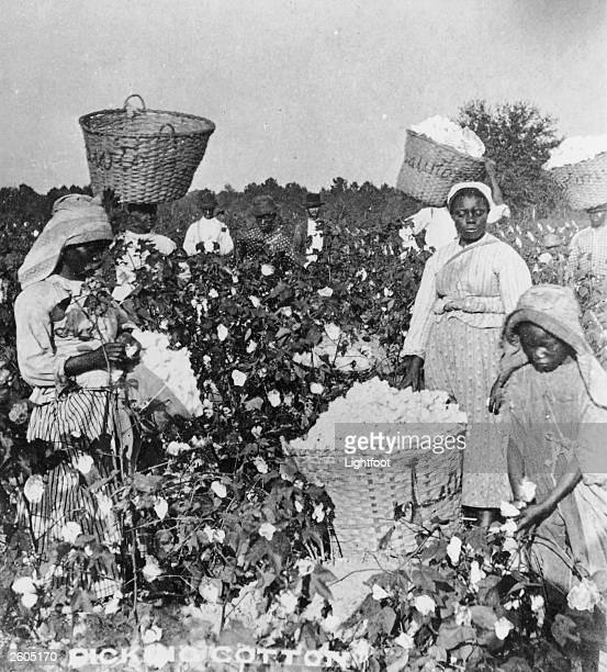 AfricanAmerican men women and children pick cotton in in a cotton field Savannah Georgia circa 1890 Three of the woman have baskets full of cotton...