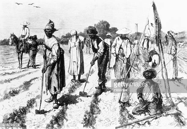AfricanAmerican slaves work in the cotton fields of a plantation