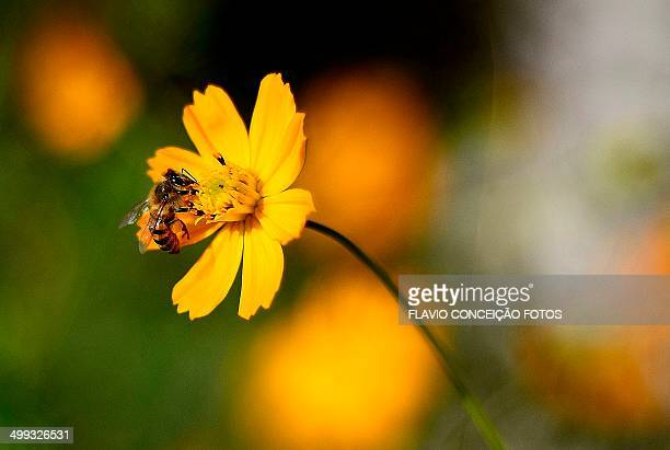africanized bee brazil - africanized killer bee stock pictures, royalty-free photos & images