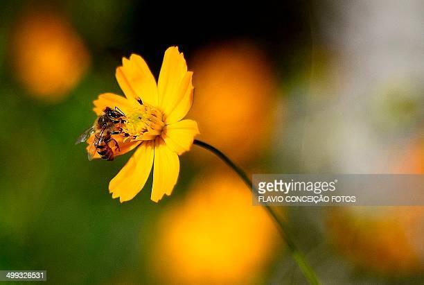Africanized bee Brazil