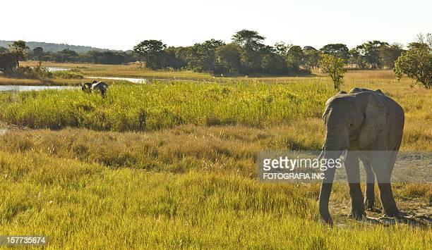 Africans elephants in Zambia