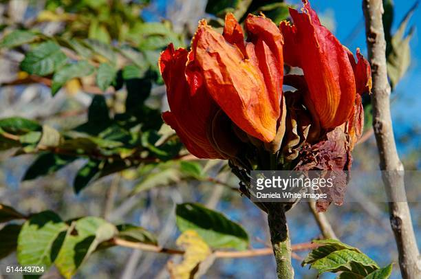 AfricanTulip tree