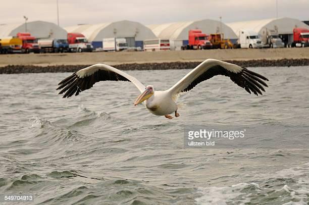 Afrika Namibia Walvis Bay Ein Rosapelikan fliegt über das Wasser am Hafenufer