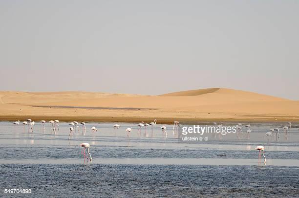 Afrika Namibia Walvis Bay Flamingos stehen vor einer Wüste im Wasser