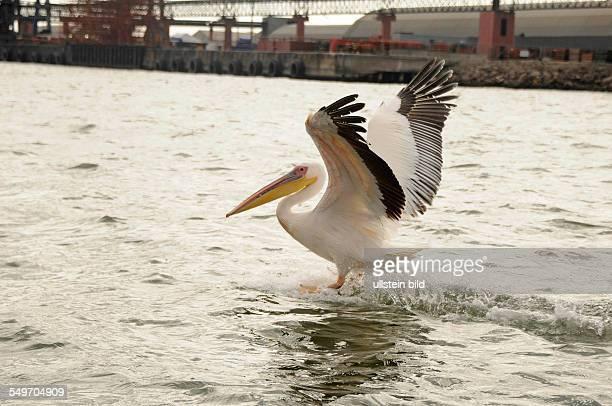 Afrika Namibia Walvis Bay Rosapelikan landet auf dem Wasser am Hafenufer