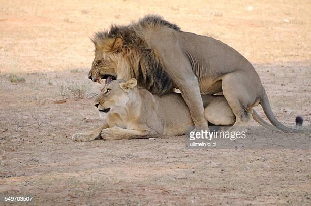Afrika Südafrika KgalagadiTransfrontierPark zwei Löwen bei der Paarung im Schatten