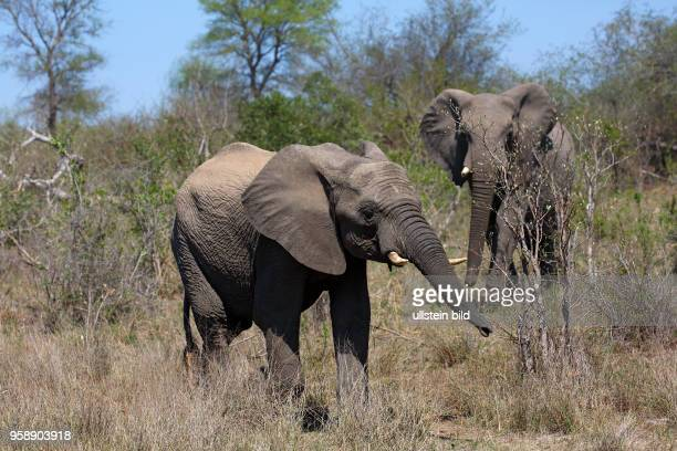 Afrikanische Elefanten , Jungtier und Alttier, Krüger-Nationalpark, Republik Südafrika, Afrika
