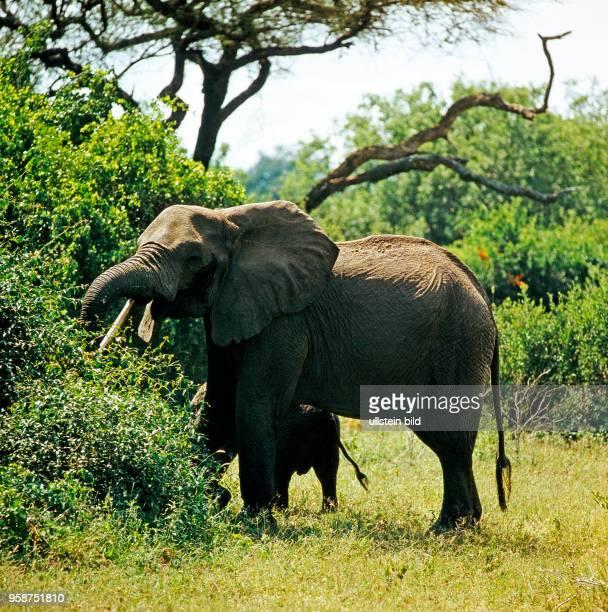 Afrikanische Elefanten Kuh mit Kalb bei der Nahrungsaufnahme im Galeriewald am Rift Valley in Tansania