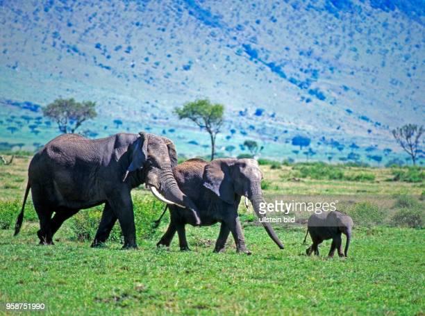 Afrikanische Elefanten Kuh mit zwei Kaelbern unterschiedlichen Alters wandern durch die Caldera des Ngorongorokraters in Tansania