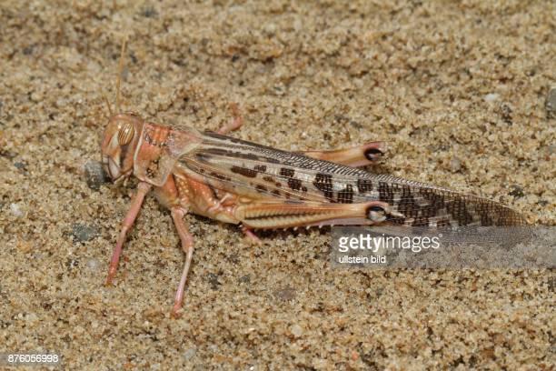 Afrikanische Wanderwuestenheuschrecke auf Boden sitzend links sehend
