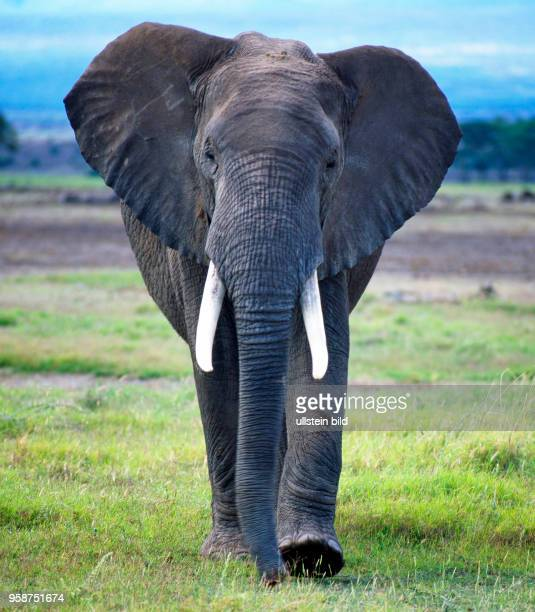 Goede Elefant Elephant Pictures and Photos - Getty Images XH-23