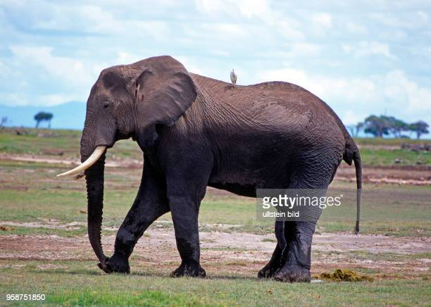 Verrassend 60 Top Elephant Bird Pictures, Photos and Images - Getty Images CQ-43