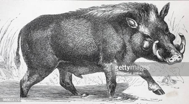 Afrikanisches Warzenschwein Phacochoerus africanus common warthog digital improved reproduction of an original print from the year 1895
