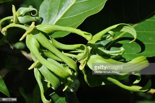 Afrique Madagascar Plantation d'ylangylang picking the flowers of ylang ylang in a farm named the queen of the flowers its golden petals are very...