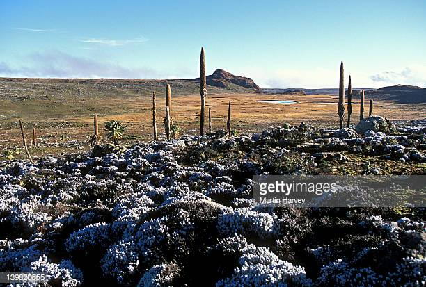 afro-alpine moorland, saneti plateau, at altitude of more than 4000 meters. bale mountains national park, ethiopia - east stock pictures, royalty-free photos & images