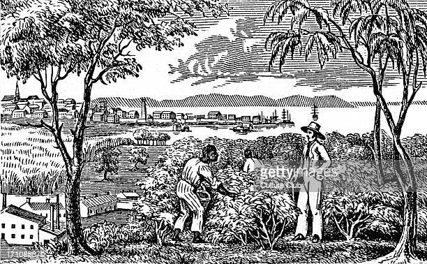 AfroAmerican slaves picking cotton on a plantation in the South 19th century