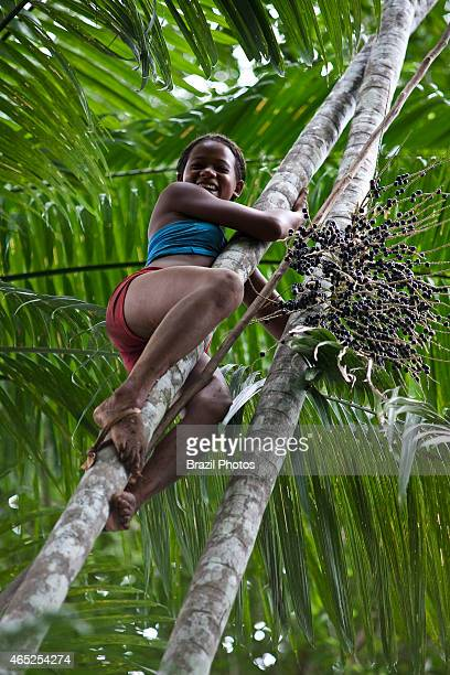 AfroBrazilian young woman picks acai fuits in the forests of Sao Raimundo Quilombo A quilombo is a Brazilian hinterland settlement founded by people...