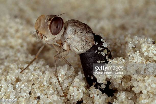 After 30 days underground, the mature fly inflates an airspace over its head to open a round flap so that it can wriggle to the surface.