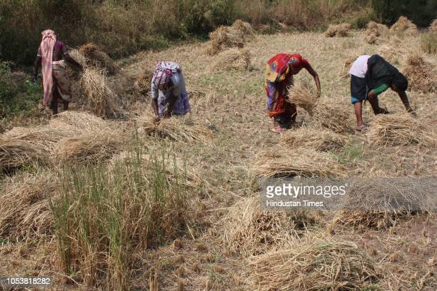 After a good crop season, farmers harvesting the paddy crops before onset of Diwali festivities at the Yeeor tribal Village range in Thane, on...