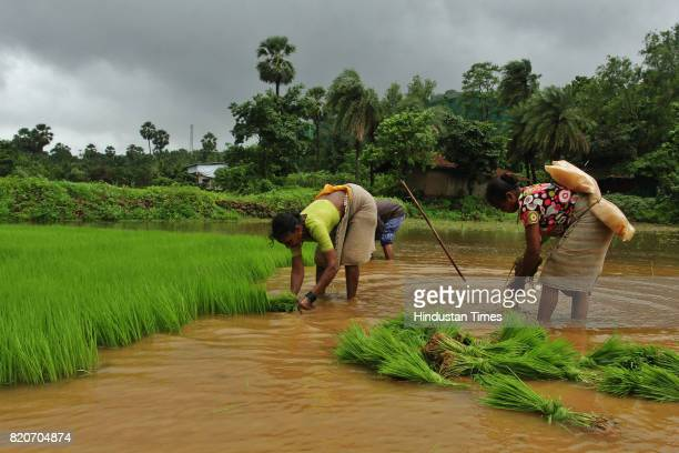 After a good rainfall farmers were seen at rice farming at Yehoor village on July 21 2017 in Mumbai India
