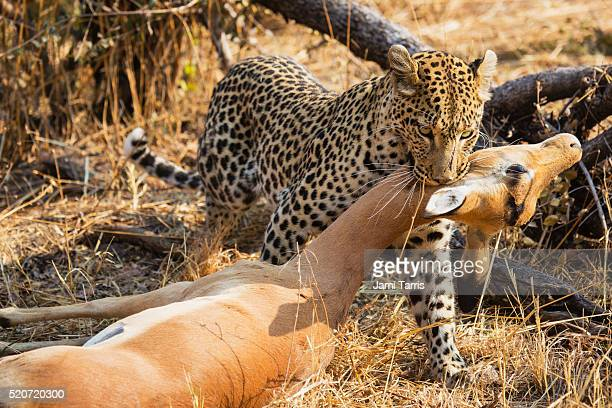 After a leopard kills an impala, it labors to drag the impala to safety so that it can eat