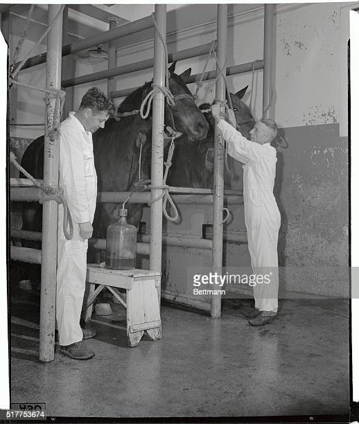 After a period of time has elapsed to allow the horse to develop antitoxin from the inoculation the animal makes his contribution to a bank of...