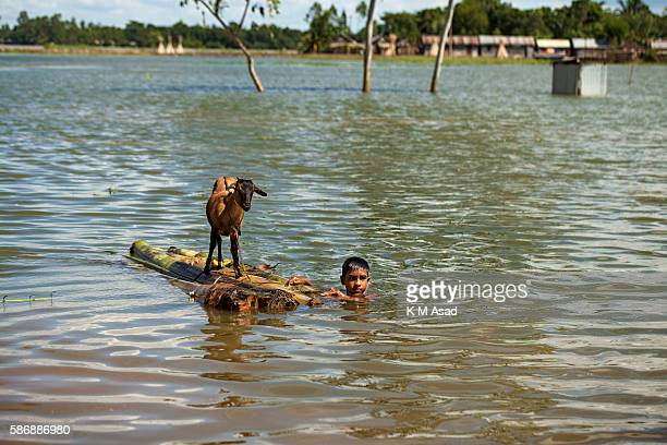 GAIDANDHA DHAKA BANGLADESH After being affected by the floodwater a boy saves his goat moving it to another place at Dewangonj Jamalpur Bangladesh...