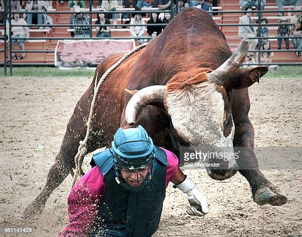 After being thrown by the bull in a bull-riding event at the rodeo, the rider is then charged by the bull. Both are running directly into the camera....