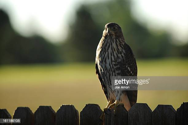 After dropping my son of a school this morning I went into the back yard to look at my garden boxes and found a chicken hawk or the Redtailed Hawk on...