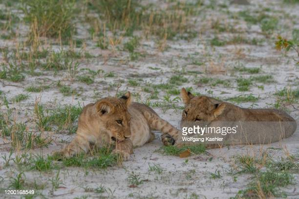 After feeding on a warthog the about 6 months old lion cubs are full and happy and start playing and licking each other in the Gomoti Plains area a...