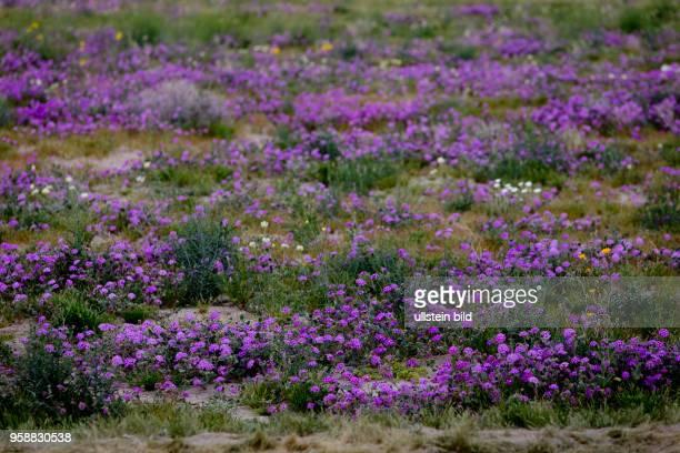 After plenty of rain in the winter wildflowers are thriving everywhere in the AnzaBorrego desert like these purple Dune Verbena wildflowers aka...
