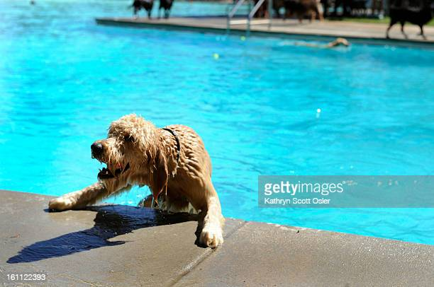 After Scott Carpenter Pool in Boulder closes to humans it turns into an aquatic dog park for two weeks in August 'Cooper' a GoldenDoodle tries to...