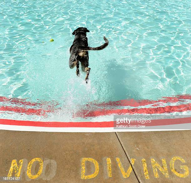 After Scott Carpenter Pool in Boulder closes to humans it turns into an aquatic dog park for two weeks in August Thatcher a Blue Tick Coonhound from...