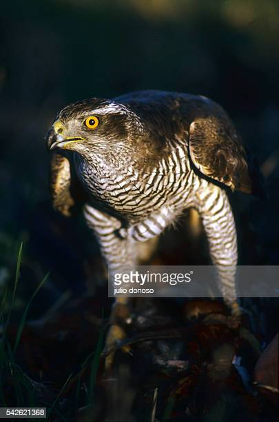After seizing its prey this goshawk protects it by making an umbrella with its wings The bird is being used in hawking and falconry at Domaine...