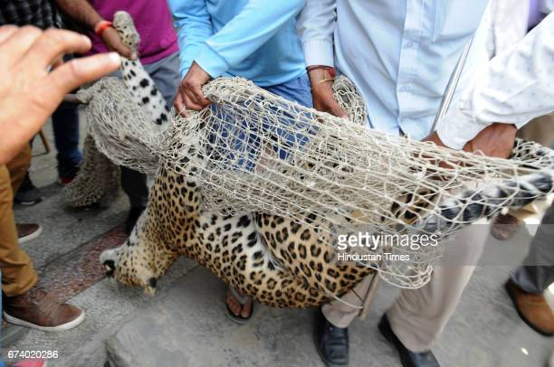 After the five hours drama a forest officer shot the leopard by tranquilizer gun for unconscious in a house in Durga Colony of Sohna locality on...