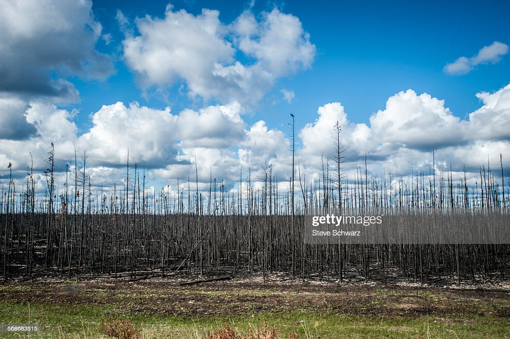 After the forest fire : Stock Photo