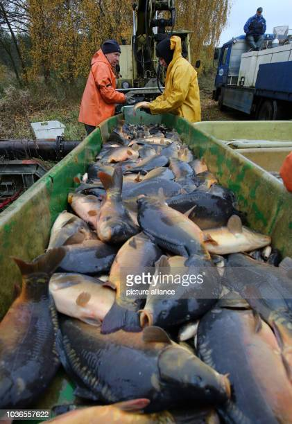After the harvest at the fishery Mueritz-Plau the carps are loaded to be placed into containers before the end-of-year sale in Boek, Germany, 8...