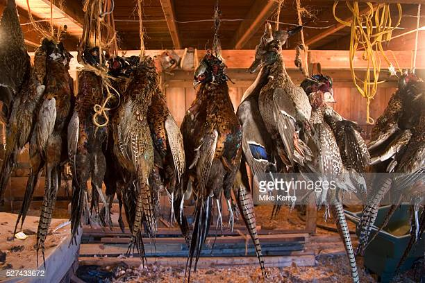 After the week shooting ducks and upland game birds in North Dakota the hunters have the job of cleaning plucking skinning dividing and generally...