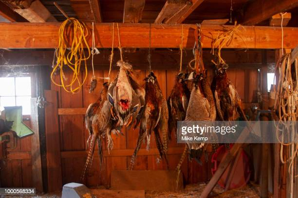After the week shooting ducks and upland game birds the haul of dead birds is hanging and the hunters have the job of cleaning plucking skinning...