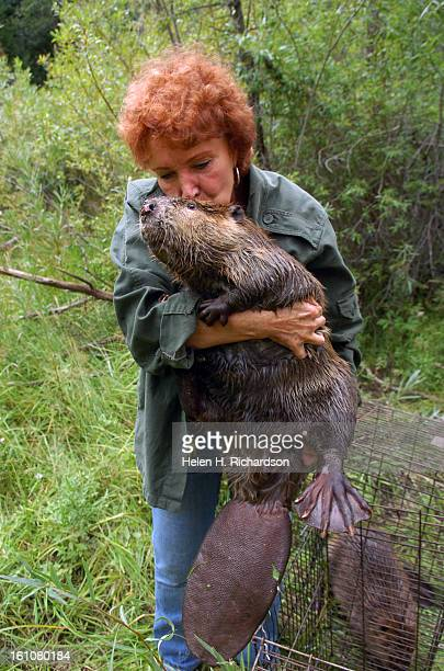 After trapping two beaver in unincorporated Boulder County taking care of them overnight at her house near Denver Sherri gives the larger female...
