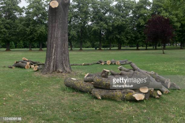 After tree surgeons severed the branches from a 100 year-old but diseased ash tree, the remaining logs lie on the ground in Ruskin Park, Lambeth, on...
