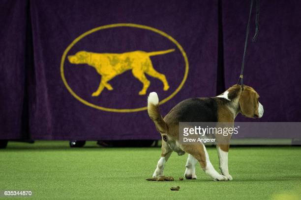 After winning first place in the junior showmanship category a beagle relieves himself in the ring during the final night at the Westminster Kennel...