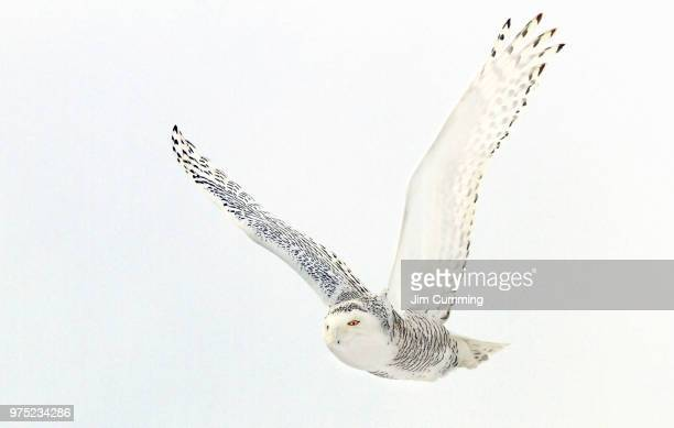 afternoon flight - snowy owl - chouette blanche photos et images de collection