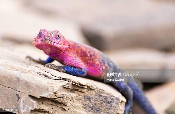 Agama lizard, Serengeti National Park, Tanzania