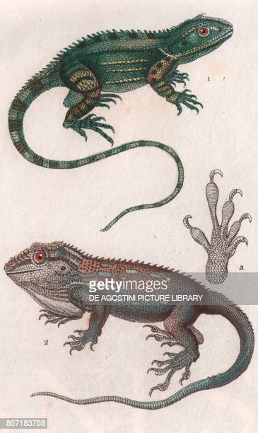1 Agama of Port Jackson 2 Anole of Cape of Good Hope colour copper engraving retouched in watercolour 9x15 cm from Dizionario delle scienze naturali...